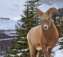 Ram with a little Attitude by JamesA1