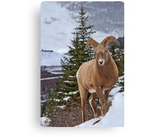 Ram with a little Attitude Canvas Print