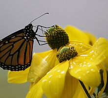 Hang On Little Monarch by Rose Landry