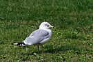 Seneca Lake Gull by Gene Walls
