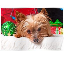 Christmas Yorkshire Terrier Poster