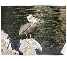 Pelican Close Up Poster