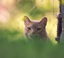 The neighbor's cat - Byåsen, Trondheim by Silje Schanche