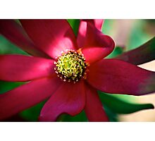 Red Leucadendron Photographic Print