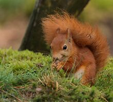 Red Squirrel by Peter Wiggerman