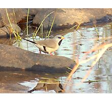 Long-Tailed Finch Photographic Print