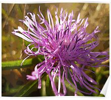 Greater Knapweed Poster