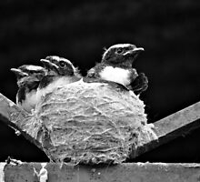 Willy Wagatil Chicks by Fred  Smith