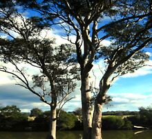 White Gum Trees by cjcphotography