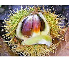 Sweet chestnuts Photographic Print