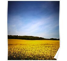 Rapeseed field with blue sky Poster