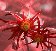 illicium Henryi by Dale Lockridge