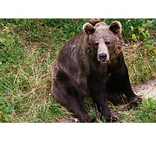 Sitting Brown Bear Photographic Print