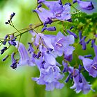 Jacaranda Blossoms by Renee Hubbard Fine Art Photography