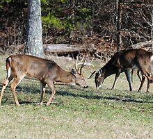 Whitetail Bucks by ewersphoto