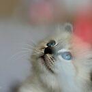 Havana the kitten by Neutro
