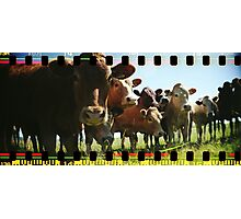Cow Line Photographic Print