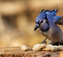 The Blue Jay attacks - Ottawa, Canada by Josef Pittner