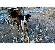 Blue-eyed Sled Dog Photographic Print