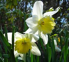 Dainty Daffs by MarianBendeth