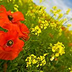 Poppy Field by amieanderson