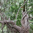 Aussie Bush Sticks: Roots by aussiebushstick