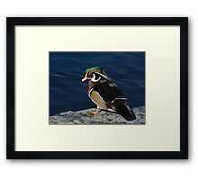Wood Duck Drake Framed Print