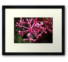 Pink Rose Grape Flower After the Borneo Rain Framed Print