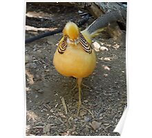 A Yellow Golden Pheasant...... Poster