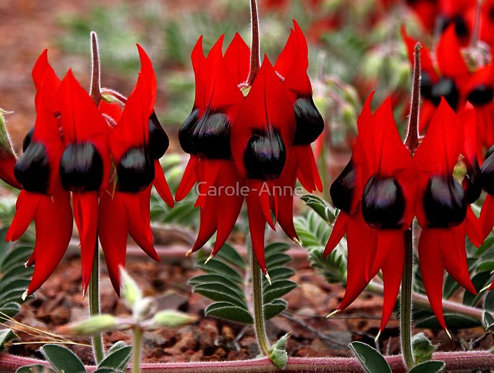 Sturt's Desert Pea in the Australian Outback by Carole-Anne