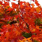 Maple Leaves by karina5