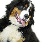 Bernese Mountain Dog by James Stevens