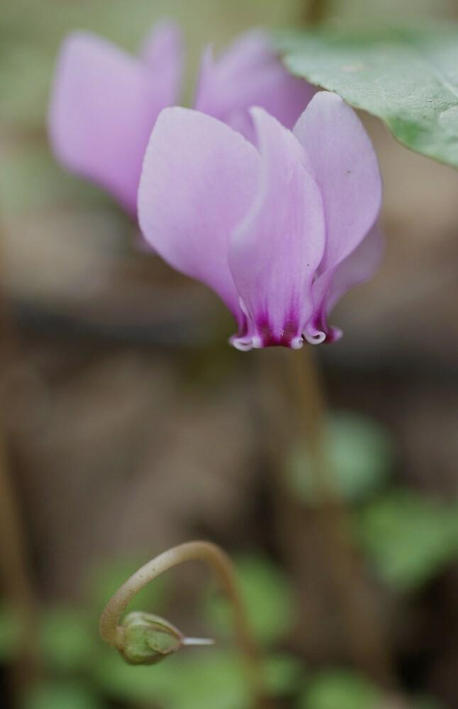 Ivy-leaved Cyclamen by marens