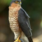 Sparrowhawk by brianfuller75
