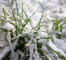 Snow and Grass by Phillip Shannon