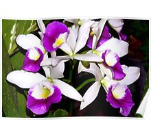 Purple and white pond orchids Poster