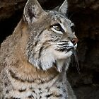 Bobcat by Linda Gregory