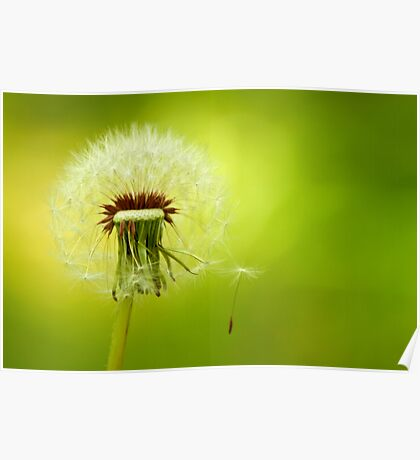 A Dandelion Blown By The Wind Poster