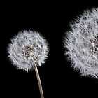 Dandelion on black trio by Phillip Shannon