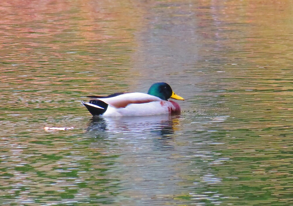 Reflecto Duck by Alex Call