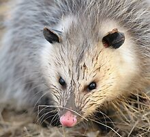 virginia opossum by Christian Hunold