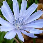 Wild Chicory by Jess Meacham