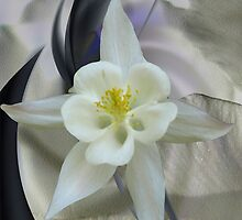 Aquilegia White Queen by Dale Lockridge
