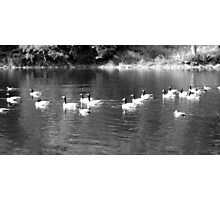B&W Ducks and Geese Photographic Print