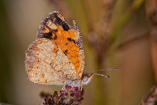 Dew Drenched Pearl Crescent Butterfly by Bonnie T.  Barry