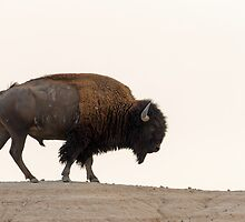 american bison by Christian Hunold