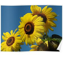 sunflowers in the wind  Poster