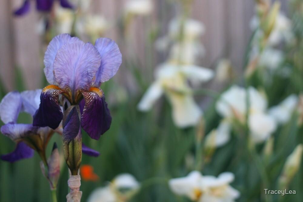 Traditional Iris (Landscape) - Backyard Beauty by TraceyLea