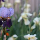 Traditional Iris (Landscape) - Backyard Beauty by TraceyLea
