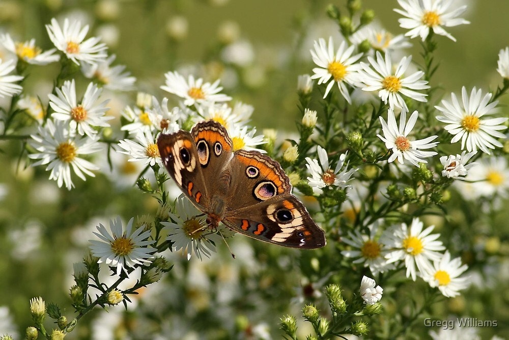 Common Buckeye Butterfly by Gregg Williams